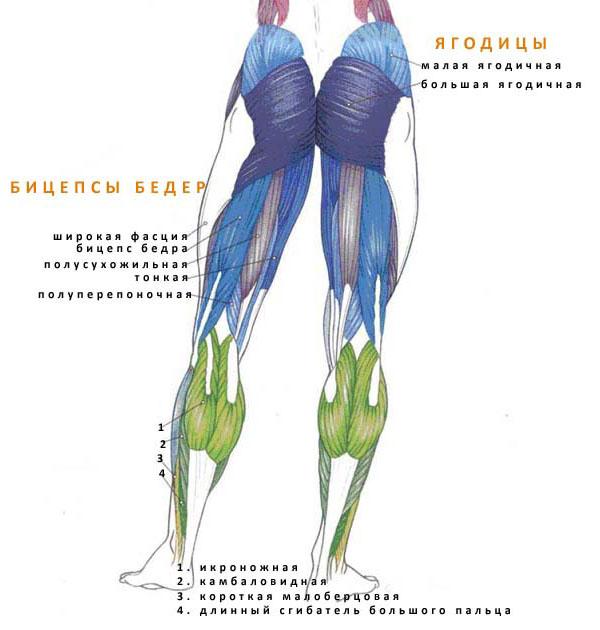 По отношению к областям мышцы